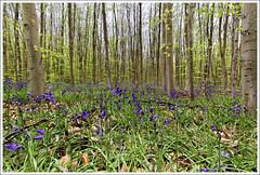 Jacinthe en forêt Verte (V.Rog) Tags: wood flower tree green fleur seine forest rouen maritime arbre bois normandi