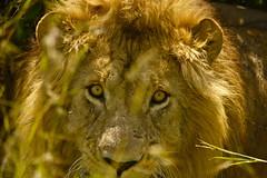 Marsh Pride Male (NewbyGaronga) Tags: cats big kenya african wildlife panasonic mara lions masai flickrbigcats