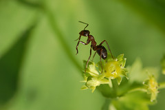 On the edge of glory (CamillaKorsnes photography) Tags: macro green nature insect pov ant nikond50 ontheedge sigma105mm