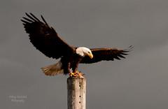 Homer Bald Eagle (Amy Hudechek Photography) Tags: alaska wings nikon eagle baldeagle homer getty gettyimages d300 homerspit happyphotographer