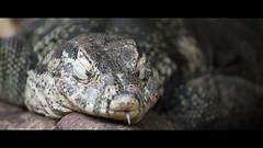 Sssssssssss (Djenzen) Tags: zoo reptile snake emmen slang dierentuin dierenpark reptiel