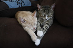 (AnnalisaShanks) Tags: cute simon love heart brothers kittens garfunkel
