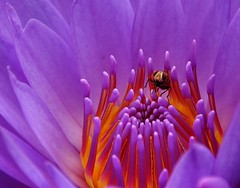 Close up - Explored - Front Page! (@mons.always) Tags: flowers macro fauna flora nikon waterlily insects bugs masinagudi d90