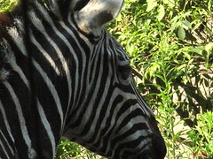 Zebra In Prison Called Zoo-Kellie Hastings (Creative illusions-Nature Photography-Kellie H) Tags: nature animalrights zoos zebras zooanimals animalcruelty animalworld zooconditions animalabuses