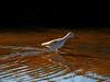 Wading Greater Yelllowlegs (AndrewJSmith) Tags: freedomtosoarlevel1birdphotosonly freedomtosoarlevel3birdphotosonly