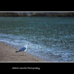 Cosa faccio? - what do I? (albygent Alberto Gentile) Tags: sea italy bird mare seagull uccelli gabbiano gargano canoneos5dmarkii