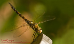 Migrant Hawker. (The Tree That Fell in the Woods) Tags: nature water garden insect wildlife bugs coventry migranthawker flyinginsects sonyalpha100