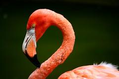 DSC_0232 (PatriciaGomes_4) Tags: pink bird flamingo sandiegozoo theenchantedcarousel