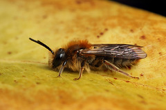 Miner bee (Lord V) Tags: macro bug insect bee minerbee