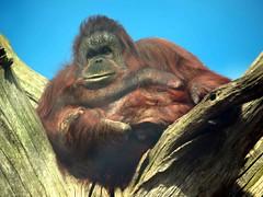 Orangatang (saxonfenken) Tags: tree animal monkey ape thumbsup orangatang 6962 gamewinner favescontestwinner pregamesweepwinner twycrosse30 6962animal frindlychallenges