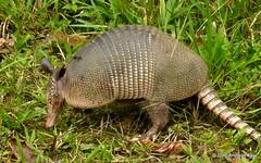 Nine-banded armadillo, Dasypus novemcinctus (Ecuador Megadiverso) Tags: video ecuador armadillo grteltier ninebandedarmadillo dasypusnovemcinctus dasypodidae