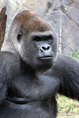 Busch Gardens: Silverback Western Lowland Gorilla (Jasmine'sCamera) Tags: tampa gorilla buschgardens busch silverback westernlowlandgorilla
