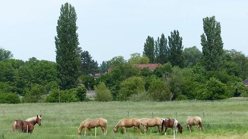 Pferde bei Köngernheim