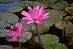 Pink Waterlilies (ACEZandEIGHTZ) Tags: park pink plants plant water miami waterlilies southdade fruitandspicepark
