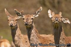 2016-05-04-016 (Andy Beattie Photography) Tags: uk england nature mammal photography europe photographer wildlife yorkshire deer halifax ungulate reddeer northyorkshire westyorkshire ripon eventoed pecora cervuselaphus hoofed andybeattie andybeattiephotography