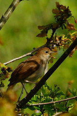 DSC04590 - Nightingale (steve R J) Tags: birds reserve british wick nightingale fingringhoe ewt