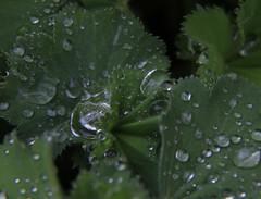 IMG_7255e (Ant Arktos) Tags: macro tubes raindrops ladysmantle vello
