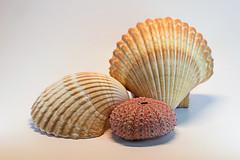 0SeaShells (1 of 1)-3 (HemboCondo) Tags: shells seashells shell snail scallop urchin