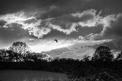 Stork (jan.scho) Tags: himmel wolken sonne kontrast bume vogel storch bedrohlich schwarzweis