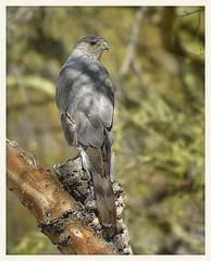 Cooper's Hawk (gauchocat) Tags: tucsonarizona tucsonmountains