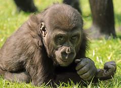 gorilla Burgerszoo JN6A6554 (j.a.kok) Tags: gorilla burgerszoo westernlowlandgorilla lowlandgorilla laaglandgorilla westelijkelaaglandgorilla