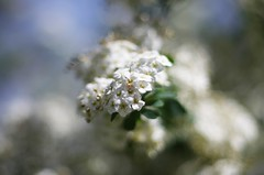 Spirea (SS) Tags: italy plant flower garden spring pentax blossom bokeh outdoor depthoffield lazio k5 spirea 2016 ss kepcorautowideanglemc28mm128