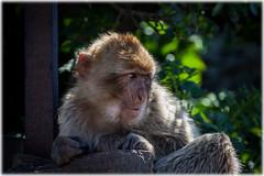 Gibraltar Barbary macaque monkey (Palmius Photo) Tags: monkey gibraltar barbarymacaque