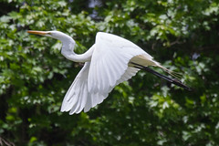 great egret 5-15-2016-5 (Scott Alan McClurg) Tags: life wild sun white bird nature animal fly flying back spring pond backyard flickr glow wildlife flight neighborhood landing ardea wetlands land algae gliding greategret naturephotography glide ardeidae aalba