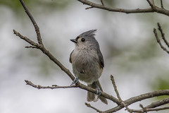 Another Gray Day  1Z9A7436 (DCLbyrdnyrd) Tags: titmouse tufted