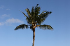 Palm Tree At The Beach House Restaurant (fethers1) Tags: kauai beachhouserestaurant kauaivacationmay2016 ericandtiffanyskauaiwedding