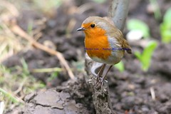 Dig Me Up Some Worms Mister...... (law_keven) Tags: england london robin catford robinredbreast