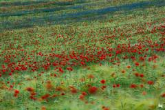stripes of summer (Sandra Bartocha) Tags: blue red summer field poppies cornflowers poppyfield csandrabartocha