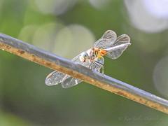 I'm up on the tight wire (DigitalLyte) Tags: houston texas dragonfly odonata