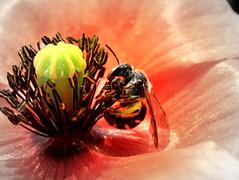 Anything Goes - HMM! (ursulamller900) Tags: red bee poppy anythinggoes biene mohn extensiontubes macromondays makroringe