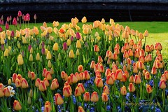 Tulips...........Keukenhof. (Rambonp love's all creatures of Universe.) Tags: pink flowers blue trees red wallpaper holland green water netherlands yellow clouds canon landscape europe paradise tulips country keukenhof keukenhofgarden