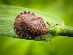 Eurygaster maura. Tortoise Shieldbug (mickmassie) Tags: scutelleridae denbieshillside lnhs lnhsecologyentomology