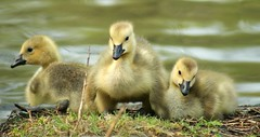3 of a kind (Kim's Pics :)) Tags: canadageese babies fluffy yellow adorable birds youngsters pond resting water trio winnipeg manitoba canada assiniboine park springtime