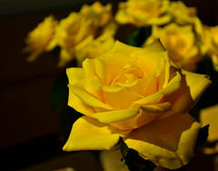 Yellow roses ... (Kat-i) Tags: flowers roses yellow bokeh blumen gelb rosen makro blten hintergrund bloosoms nikon1v1