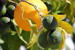 Lime_2444 (Stephen Wilcox - Jetwashphotos.com) Tags: travel food tree fruit photography leaf lemon bush flickr branch image lemons photograph citrus lime wp limes limetree jetwashphotos