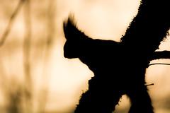 silhouette (Florian Grundstein) Tags: morning nature silhouette sunrise licht nikon squirrel zoom contemporary natur sigma wilderness sonne baum eichhrnchen dx contrats wildnis wildtiere d7100 150600