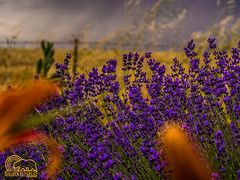 Framing The Picture (Golden_Republic_Photography) Tags: california county plants flower field grass gold countryside flora purple country lavender olympus sacra lilies sacramento westcoast barbed omd sactown em5 sacramentoproud
