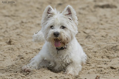 Lucy Happisburgh Beach Norfolk 19/5/2016 (Paul-Green) Tags: uk two portrait dog pet pets white west beach dogs canon walking photography photo flickr pics mark walk norfolk westie may picture east explore terrier highland ii 7d gb beaches mk2 anglia happisburgh 2016