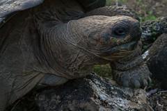 A Galapagos Tortoise on the move (Spencer Cooke) Tags: southamerica nature canon outdoors ecuador tortoise ultrawide galapagostortoise galapagosislands isabelaisland islaisabela spencerthecookephotography