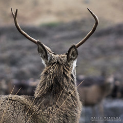 Head of the Herd (DMeadows) Tags: red wild male nature animal rural square scotland countryside stag natural wildlife country glen deer antlers highland crop coe etive davidmeadows dmeadows