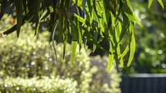 Winter Greens (Theen ...) Tags: adelaide bokeh carpark dof fence foliage green gum hedge leaves lumix sparkling sunlight theen tree winter