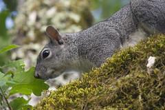 Squirrel (uncle.dee9600) Tags: nikon squirrel telephoto graysquirrel nikond7200