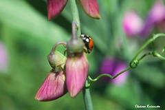 Botanical Garden Diomedes (Eleanna Kounoupa) Tags: flowers plants nature garden spring purple insects athens greece ladybug attica