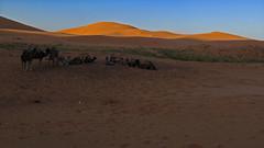 Camels Resting in the Sahara (macloo) Tags: travel camping sahara trek desert morocco camels