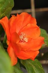 wax rose (Pereskia Bleo) (DOLCEVITALUX) Tags: flowers flower fauna flora philippines medicinalplants waxrose pereskiableo