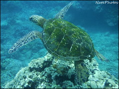 Green Sea Turtle(1) (NatePhotos) Tags: road sunset sea hawaii bay waterfall rainbow cows turtle maui hana jungle waterfalls kapalua rooster eel napili 2016 natephotos